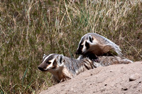 Badgers_25