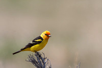 Western_Tanager_14
