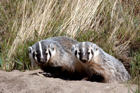 Badgers_31