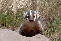 Badgers_33