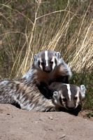 Badgers_17