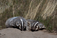 Badgers_15