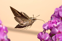 White-lined_Sphinx_Moth_06_007