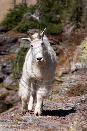Mountain_Goat_07_040