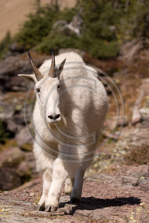 Mountain_Goat_07_041