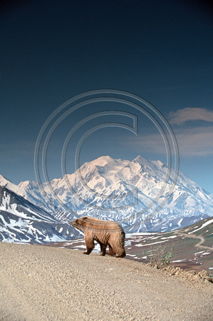 Bear_Brown_Denali_F_040