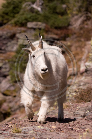 Mountain_Goat_07_038