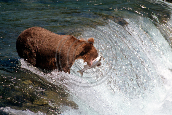 Bear_Brown_Katmai_F_001