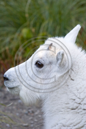Mountain_Goat_07_047