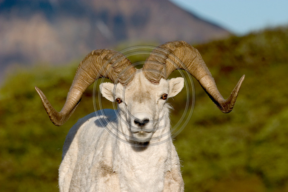 Sheep_Dall_05_016