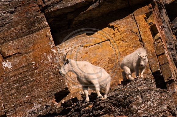 Mountain_Goat_07_007_Cropped