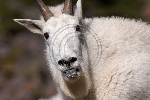 Mountain_Goat_07_036_Cropped