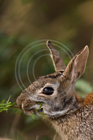 Eastern_Cottontail_08_01