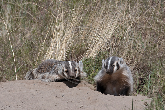 Badgers_21