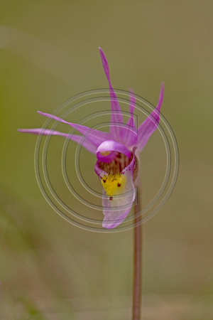 Fairy_Slipper_07_004
