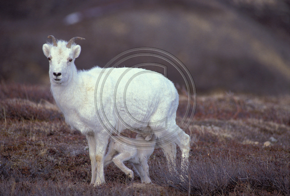 Sheep_Dall_F_020
