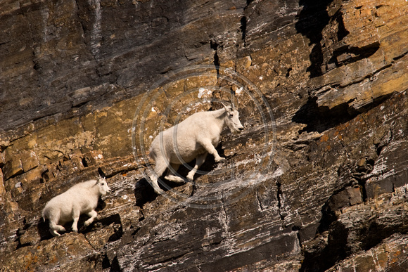 Mountain_Goat_07_005