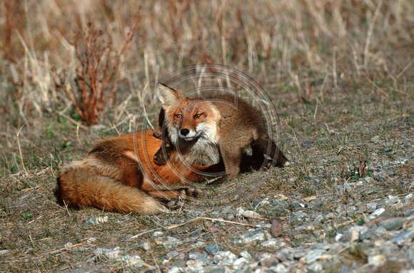 Fox_Red_Kits_F_013