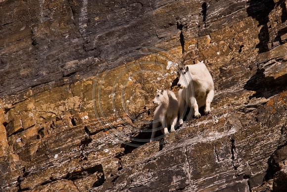 Mountain_Goat_07_006