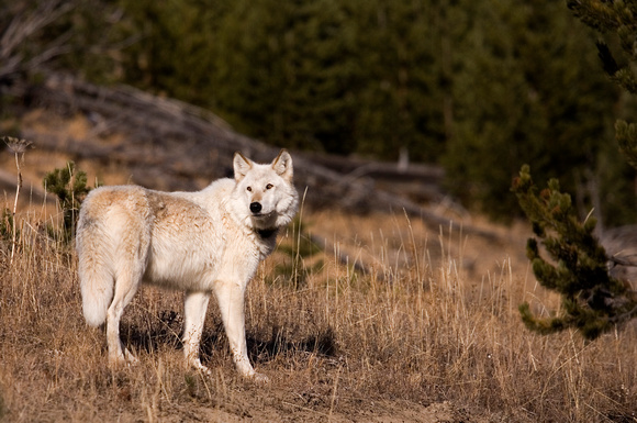 Wolf_06_051_Cropped