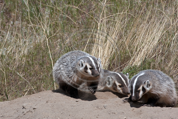 Badgers_22