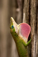 Green_Anole_08_01