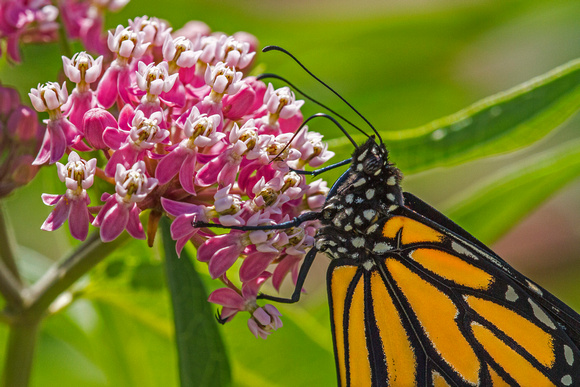 Monarch_CLP_010