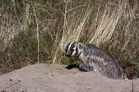 Badgers_18