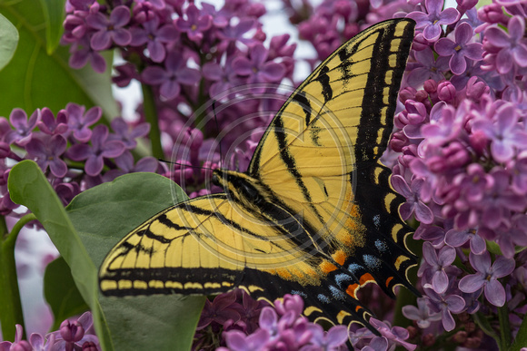Tiger Swallowtail, Papilio glaucus, Shot in the wild