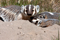 Badgers_34a