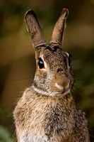 Eastern_Cottontail_08_02