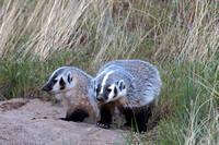 Badgers_28